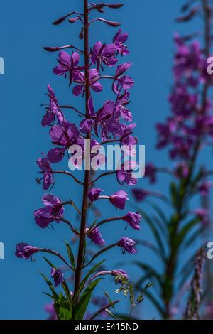 Leaves of Rosebay willowherb / Epilobium angustifolium set against blue sky. Young leaves may be eaten cooked. - Stock Photo