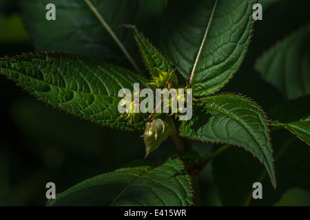 Flower buds and upper leaves of the troublesome Himalyan Balsam / Impatiens glandulifera - which likes damp soils / ground. Stock Photo