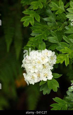 Hawthorn blossom - Stock Photo