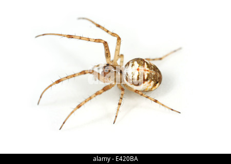 Female Metellina mengei spider, part of the family Tetragnathidae - Longjawed orbweavers or Stretch spiders. Isolated - Stock Photo