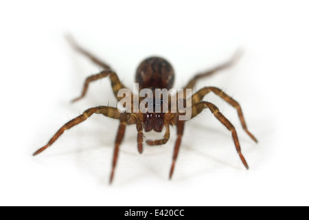 Female Pirata hygrophilus spider, part of the family Lycosidae - Wolf spiders. Isolated on white background. - Stock Photo