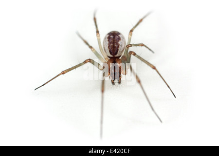 Female Platform hammock-spider (Neriene peltata), part of the family Linyphiidae -  Sheetweb weavers. Isolated on - Stock Photo