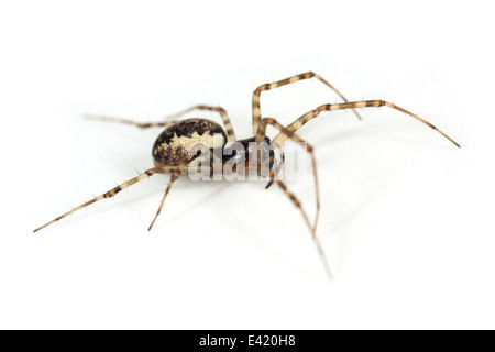 Female Spring hammock-spider (Neriene montana), part of the family Linyphiidae -  Sheetweb weavers. Isolated on - Stock Photo