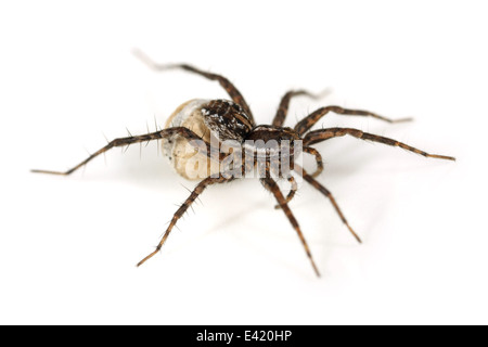 Female Pin-stripe wolf-spider (Pardosa monticola), part of the family Lycosidae - Wolf spiders.Carrying an egg sac - Stock Photo