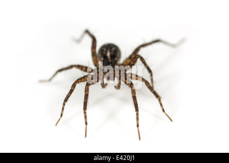 Female Pin-stripe wolf-spider (Pardosa monticola), part of the family Lycosidae - Wolf spiders. Isolated on white - Stock Photo
