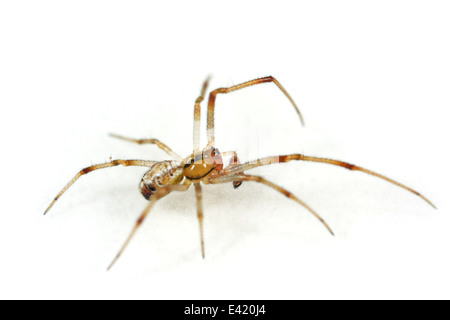 Male Theridion impressum spider, part of the family Theridiidae - cobweb weavers. Isolated on white background. - Stock Photo