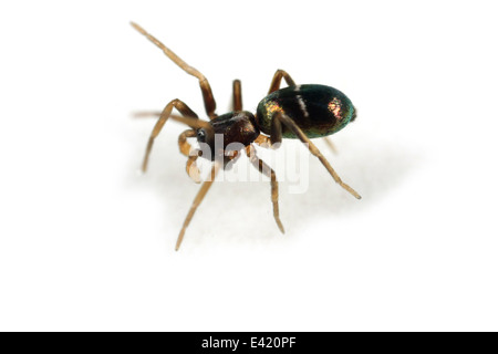 Juvenile male Pine-tree ant-spider (Micaria subopaca), part of the family Gnaphosidae - Stealthy ground spiders. - Stock Photo