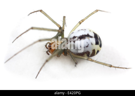 Female Black-tailed hammock-spider (Neriene emphana), part of the family Linyphiidae - Sheetweb weavers. Isolated - Stock Photo