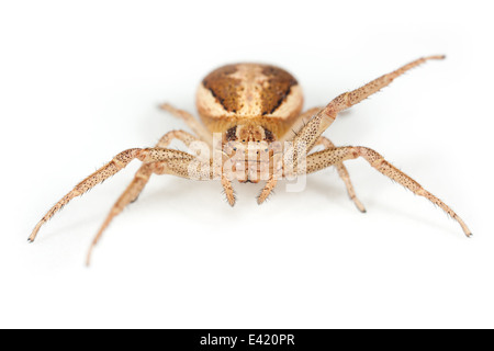 Female Xysticus ulmi spider, part of the family Thomisidae - Crab spiders. Isolated on white background. - Stock Photo