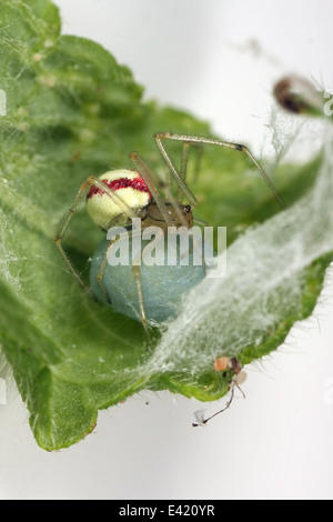 Female Candystripe or Polymorphic spider (Enoplognatha ovata) in its nest, part of the family Theridiidae - Cobweb - Stock Photo