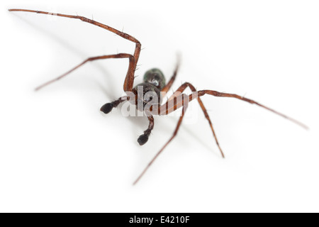 Male Philodromus aureolus spider, part of the family Philodromidae - Running crab spiders. Isolated on white background. - Stock Photo