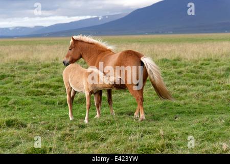 Icelandic horses, Icelandic Ponies, Akureyri, North Iceland - Stock Photo