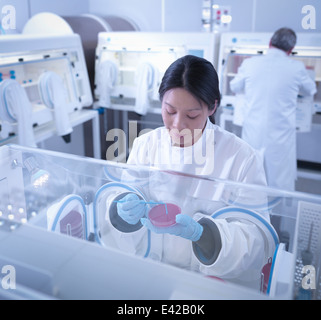 Scientist making bacterial culture in agar inside laboratory workstation - Stock Photo