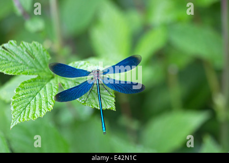 dragonfly in nature area Eifel, Germany - Stock Photo