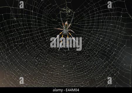 Giant Orb-web Spider {Nephila madagascariensis} Mantadia NP, Madagascar. - Stock Photo