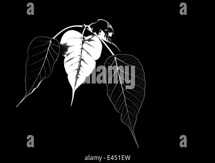Four Bodhi tree leaves graphic abstract isolated on black background - Stock Photo