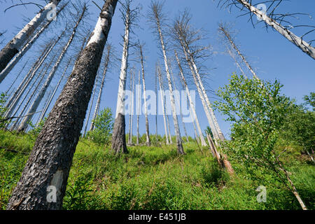 Dead Spruce Trees (Picea abies) after infestation and herbivory of the Eight-toothed Spruce Bark Beetle (Ips typographus) - Stock Photo