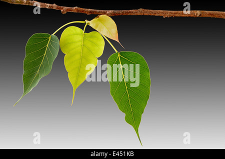Four Bodhi tree leaves on branch closeup - Stock Photo