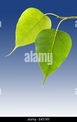 Two bodhi tree leaves on blue background closeup - Stock Photo