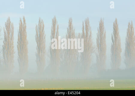 Row of poplars (Populus nigra italica) in the fog, Rheinberg, Lower Rhine region, North Rhine-Westphalia, Germany - Stock Photo