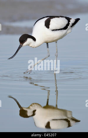 Avocet (Recurvirostra avosetta) foraging for food, reflection in the water, Texel, West Frisian Islands, North Holland, - Stock Photo