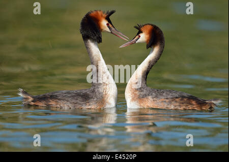 Great Crested Grebes (Podiceps cristatus), courtship, Lake Lucerne, Canton of Lucerne, Switzerland - Stock Photo