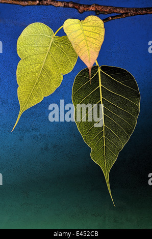 Three Bodhi tree leaves abstract poster effect - Stock Photo