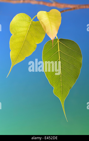Three bodhi tree leaves on branch blue background - Stock Photo
