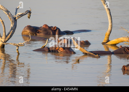 Pod of hippos relaxing in a dam in the late afternoon sun - Stock Photo