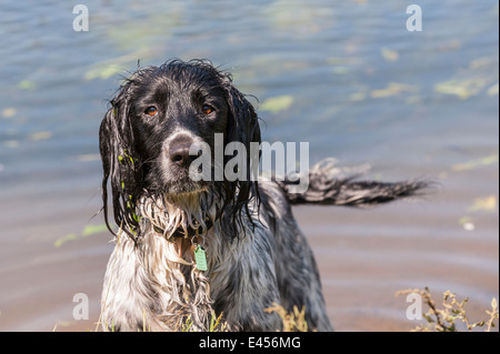 A wet 2 year old working English Springer Spaniel dog in the river water in the Uk - Stock Photo