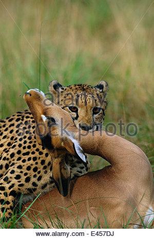 Female Cheetah {Acinonyx jubatus} suffocating Impala, Phinda NP, South Africa - Stock Photo
