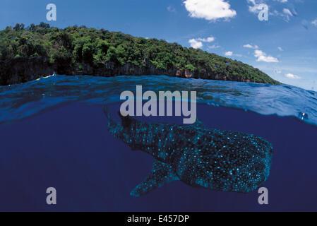 Whale shark split level {Rhincodon typus} Christmas Island, Australia - Stock Photo