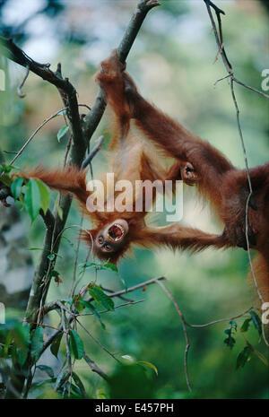 Sumatran Orang utan baby hanging upsidedown in tree {Pongo pygmaeus abelii} Gunung Leuser NP, Sumatra, Indonesia - Stock Photo