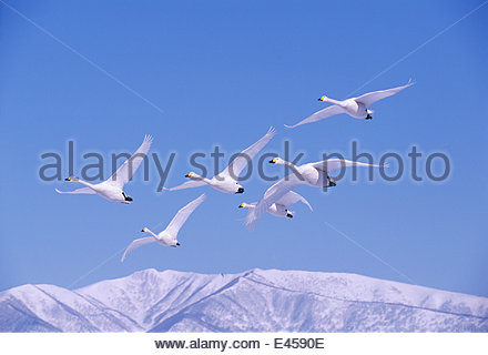 Whooper swans flying and 'whooping' loudly {Cygnus cygnus} Akan National Park, Hokkaido, Japan. Eric Hosking Award - Stock Photo