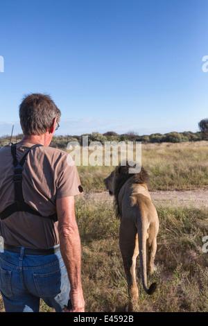 Animal ranger walking with male lion(Panthera leo), Namibia - Stock Photo