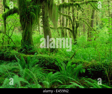 Moss covered trunks of Sitka spruce {Picea sitchensis} and Big leaf maple {Acer macrophyllum}, also Sword ferns - Stock Photo