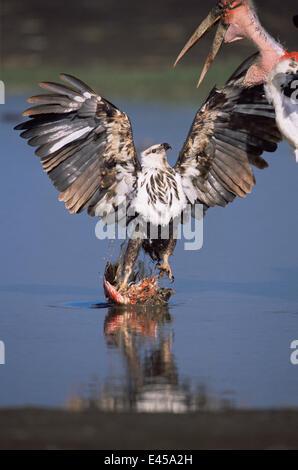 Juvenile African fish eagle {Haliaeetus vocifer} defends Lesser flamingo prey {Phoeniconaias minor} from Marabou - Stock Photo