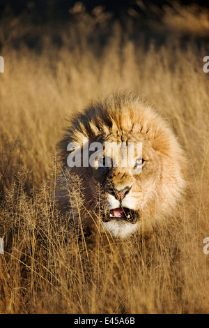Snarling Male Lion (Panthera leo) - Stock Photo