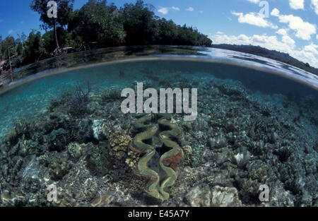 Mangrove forest and shallow coral reef with Giant clam, split level, Papua New Guinea - Stock Photo
