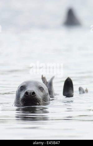Grey seal {Halichoerus grypus} female, Lerwick harbour, Shetland, Scotland, UK - Stock Photo