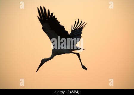 Silhouette of White stork (Ciconia ciconia) flying from tree at dawn, Donana NP, Spain - Stock Photo