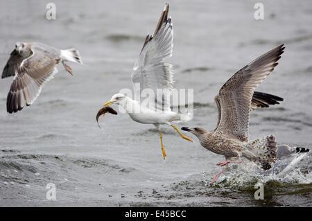 Yellow-legged Gull (Larus cachinnans) & two Juvenile Herring Gull (Larus argentatus) catching fish and fighting, - Stock Photo