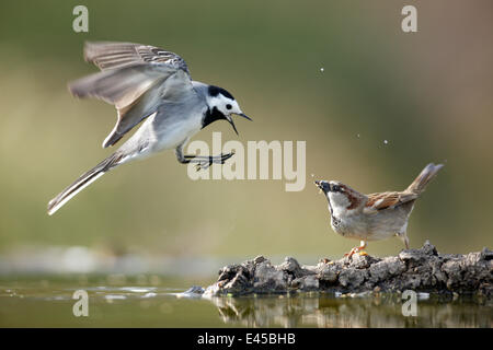 Pied wagtail (Motacilla alba) flying with beak wide open showing aggression towards Sparrow, Alicante, Spain - Stock Photo