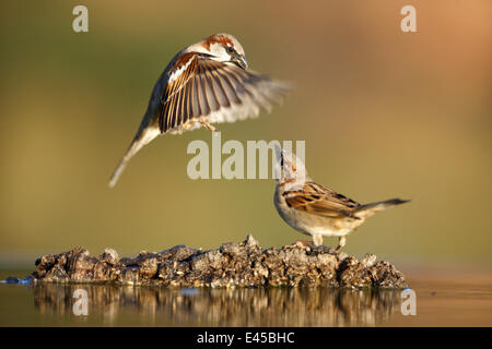 Common sparrow (Passer domesticus) landing next to another sparrow near water, Alicante, Spain - Stock Photo