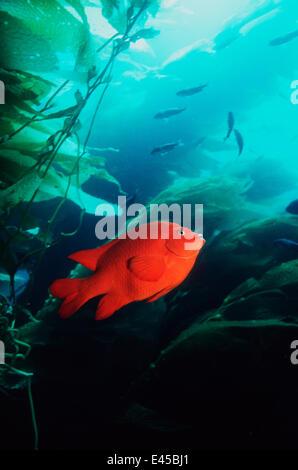 Garibaldi (Hypsypops rubicanda) amongst Giant Kelp (Macrocystis sp) California, USA - Stock Photo