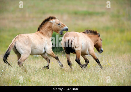 Semi wild Przewalski horses (Equus ferus przewalskii), stallion biting another stallion to chase it from his herd, - Stock Photo