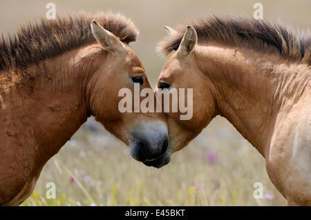 Two semi wild Przewalski horses interacting, greeting (Equus ferus przewalskii), Parc du Villaret, Causse Mejean, - Stock Photo
