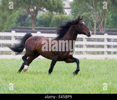 Bay Andalusian stallion trotting in paddock, Ojai, California, USA - Stock Photo