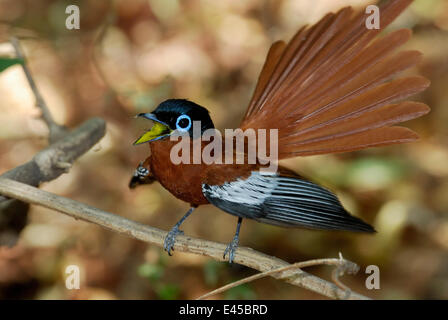 Male Madagascar paradise flycatcher (Terpsiphone mutata) singing and displaying, dry forest of Berenty reserve, - Stock Photo