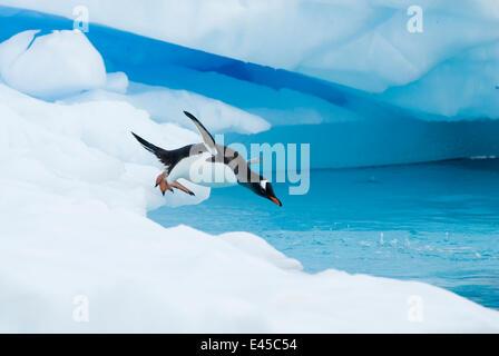 Gentoo penguin (Pygoscelis Papua) jumping off an iceberg, western Antarctic Peninsula, Southern Ocean - Stock Photo